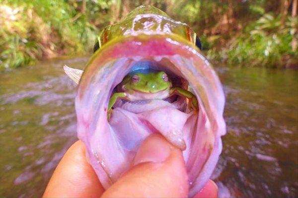 釣った魚の口の中で笑うカエル