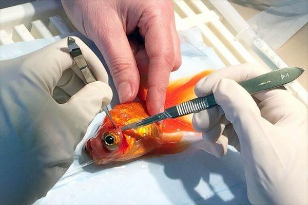 またまた金魚の外科手術がおこなわれる! 今度は出目金のモンティくん