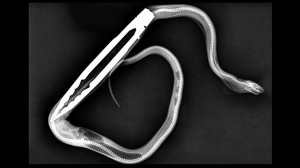 ペットのヘビにエサを与えたら、トングごと飲み込んでしまい手術するハメに