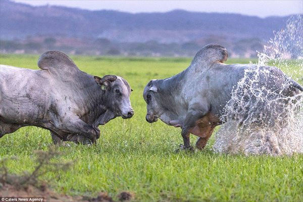 迫力満点! ヘビー級のオス牛によるメスをかけた、男と男の一騎討ち!
