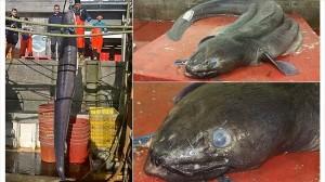 長さ6.5メートル! イギリスで巨大なモンスターアナゴが捕獲される!!