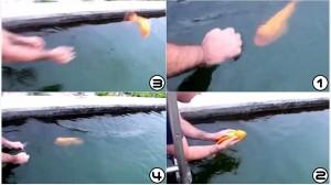 人間と遊ぶのが大好き! 水に投げられても遊び足りない!人間に懐く魚!!