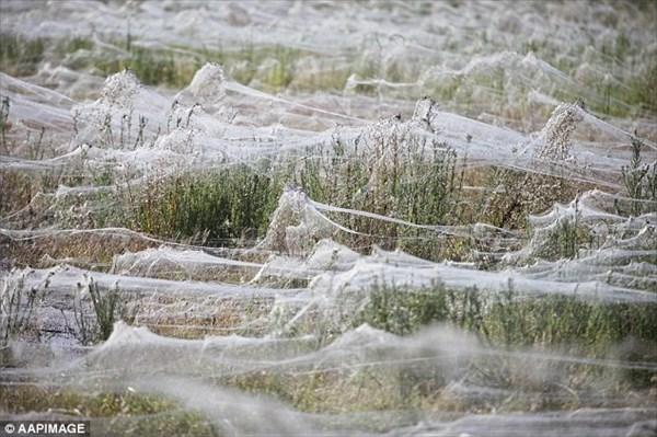 まるで雪! クモの巣で一面真っ白になる奇妙な現象「エンジェルヘアー」!!