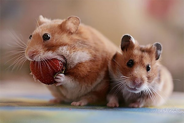 猟奇的にみえる!イチゴ(ベリー)を食べる動物達