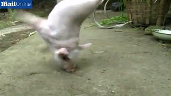中国で2本脚の子ブタが誕生!
