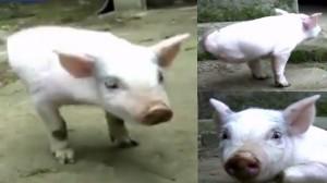 前足だけで懸命に歩く! 中国で2本脚の子ブタが誕生