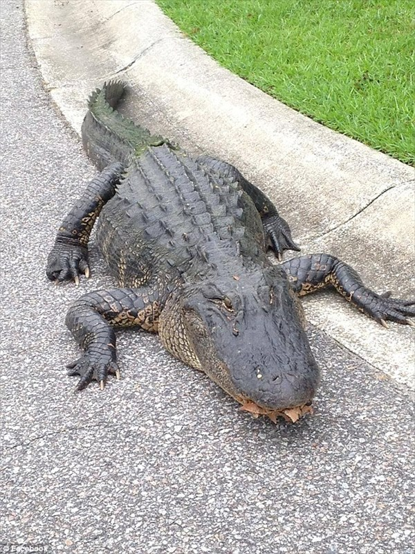 サウスカロライナ州で芝生を歩くワニが目撃される 子どもたちはワニに釘付け!