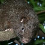カリブ海の島で新種ネズミ発見!ジェームズ・ボンドにちなみ「ボンディ」と命名