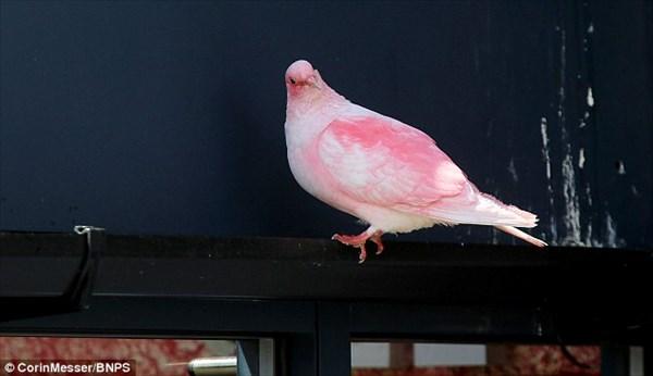 イギリスの海辺町にピンク色の鳩があらわれ、住民たちのアイドルに!