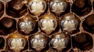 ハチの成長を1分に凝縮!ミツバチが卵から成虫になるまでのタイムラプス動画!