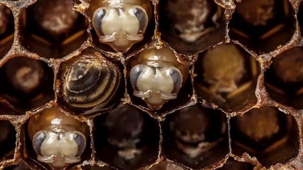 ミツバチが卵から成虫になるまでのタイムラプス動画!
