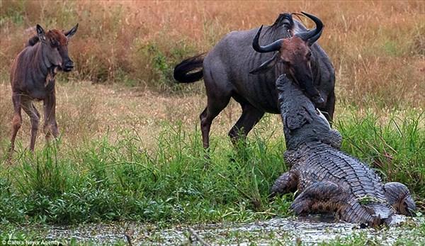 ワニvsカバ ワニが捕まえたヌーを横取りするカバ!!
