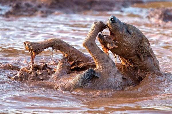まるで飼いならされた犬! 泥遊びをする可愛いハイエナ!