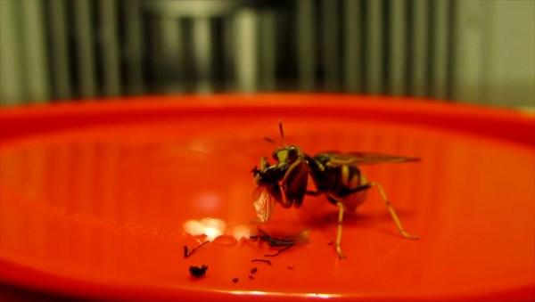 ハチ+カマキリ 最強の昆虫の特徴をあわせ持った虫 カマキリモドキ!!