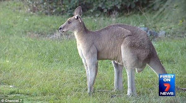 周辺住民たちが恐怖!! 2メートルあるヘビー級の片耳カンガルーが出現