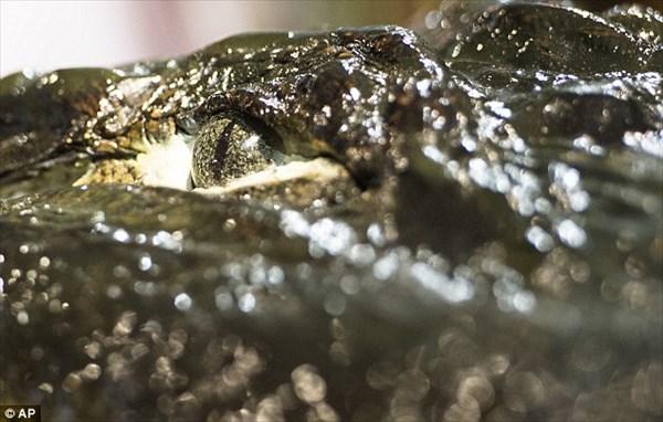 捕獲されたアメリカアリゲーターとして最大記録のワニ 剥製にされて展示される