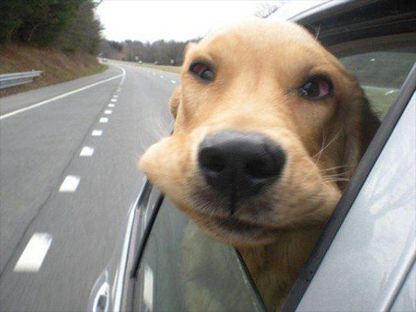走行中の車から顔を出し、風でモンスターのようになった犬画像 25枚