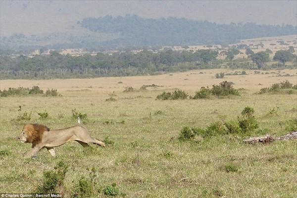 百獣の王ライオンも数には敵わない! 水牛の群れにビビり倒すオスライオン