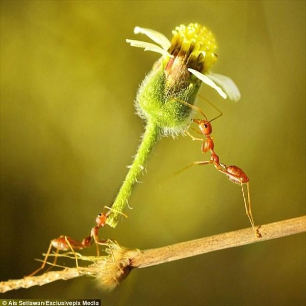 インドネシアで撮影された「花を贈るアリ」