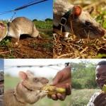 世界中の数千人の命を救う!? 地雷探知ネズミ「ヒーローラッツ」が活躍中!