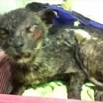 寄付募集中! 生きたまま焼かれた猫の「フェニックス」奇跡的に命をとりとめる