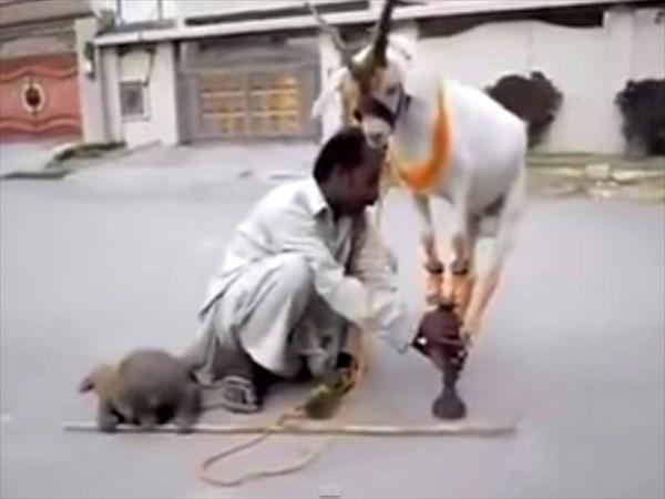 神業的なヤギのバランス感覚!! ちょっと可哀想なストリートサーカス