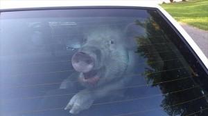 脱走しパトカーで連行されるブタ 後部座席から不敵な笑みを浮かべる