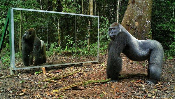 ヒョウ、ゴリラ、チンパンジー、ゾウ他 色んな動物の鏡に対するリアクション!