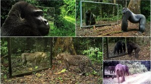 ヒョウ、ゴリラ、チンパンジー、ゾウ他 色んな動物の鏡に対するリアクション!