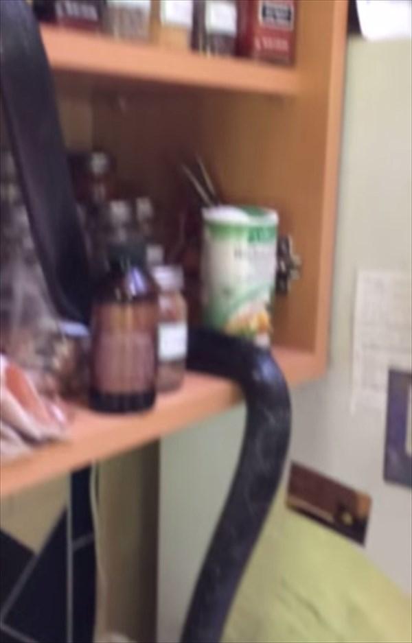 キッチンに忍び込んだ野生のアオダイショウ 卵を盗み食いする!