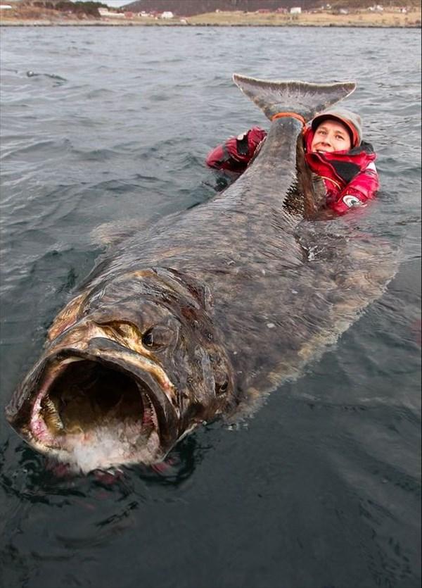 2mの巨大オヒョウを釣る! デカ過ぎて持ち上がらず極寒の海にダイブして撮影