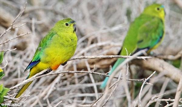 野生は残り50羽! 更にウイルス流行で絶滅待ったなしのアカハラワカバインコ