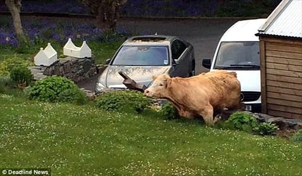 塀を乗り越えようとする牛