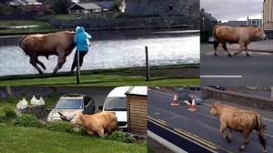 暴走ブルズアイ!! スコットランドで凶暴なオス牛が大暴れしケガ人発生!!