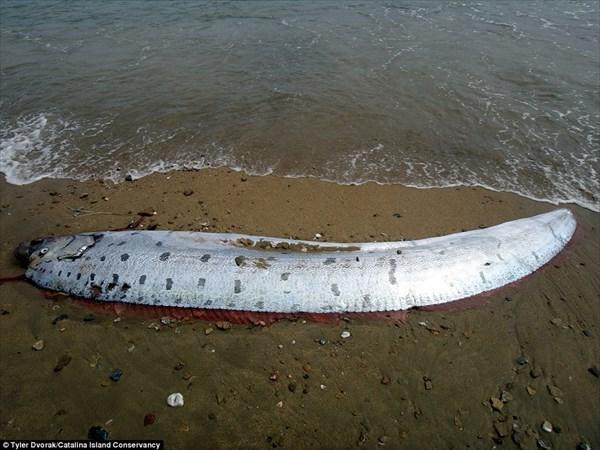 カリフォルニアのビーチで深海魚「リュウグウノツカイ」発見!!
