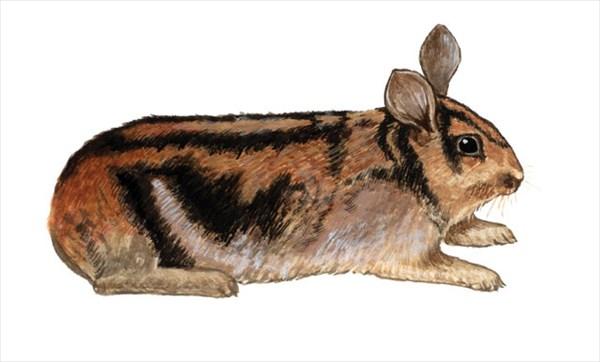 世界一珍しいウサギ「アンナンストライプウサギ」捜索3か月の予定が初日で捕獲