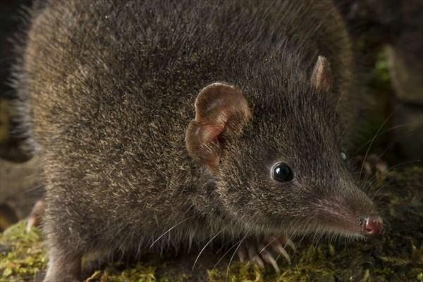 死ぬまで交尾をする有袋類「アンテキヌス」新種2種がオーストラリアで発見!!