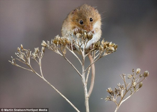 タンポポの茎にも乗れる! 極小カヤネズミの可愛らしい写真!!