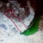 何だコイツ!? 緑色の体からピンク色の触手を出す謎の生物が台湾で出現!!