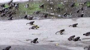 まるで地獄絵図! 中国・遼寧省でヒキガエルが大量発生!!