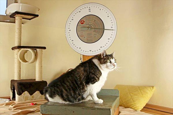 世界一重い猫!? 最高体重は17.5キロ! デブ猫のエルヴィス