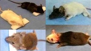 中国医師が、既に千匹のマウスの頭部移植をしたことを発表! 次は猿で実施予定