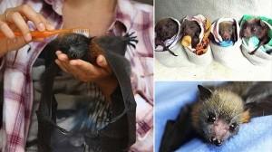 絶滅の危機からフルーツバットを救え! ノースシドニーのコウモリ避難所!