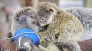 交通事故で負傷した母コアラと、手術中もそばを離れない赤ちゃんコアラ!