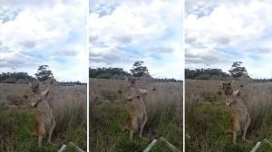 陽気なカンガルー!?エアギターを弾くような動作をするカンガルーが撮影される