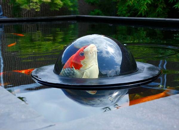ニシキゴイを横からも楽しむ! 「フローティング・フィッシュ・ドーム」