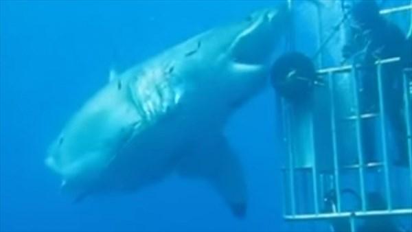 史上最大の大きさ!? 体長6m以上の巨大なホオジロザメが撮影される!