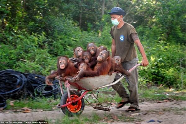 可愛い!! 救出されたオランウータンの赤ちゃん達が通う「森の学校」