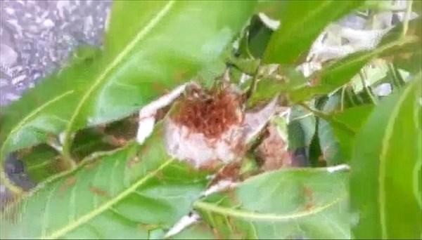 猛毒を持つ殺人アリを大量にパンツの中へ! タイのおバカがチャレンジ!