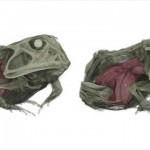 標本のカエルをCTスキャンで見てみると、カエルの中にもう一匹のカエルが・・・